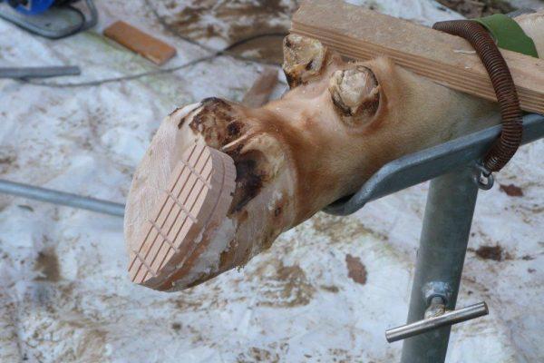 Totklaue mit zu Schulungszwecken geklebtem Holzklotz